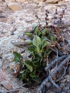 Pyrola dentata growing in decomposed granite, Sierra de San Pedro Martir. December 2, 2012.