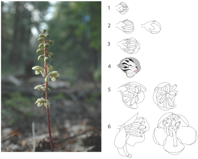 Figure 2: A typical raceme of P. picta, with stages of floral maturation used for analyses of phenological differences among sympatric species,