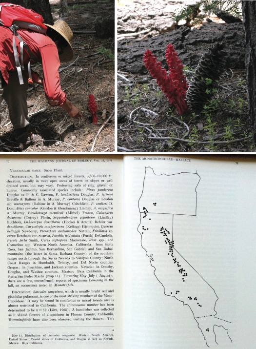 A. Julian Roberts examines an inflorescence of Sarcodes sanguinea just north of Lassen Volcanic National Park. B. Inflorescences often grow at the bases of conifers, presumably because the plants are 'tapped' into the mycorrhizal fungi associated with these trees. C. The geographic range of S. sanguinea from Gary Wallace's 1975 monograph of Monotropoideae (Wassman Journal of Botany, 33)