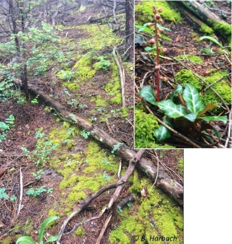 Habitat near the east-central side of Pike National Forest where Pyrola was observed growing. Photo credit: Barb Harbach.